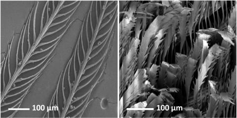 Black-and-white images of feathers at the 100 micrometer scale.